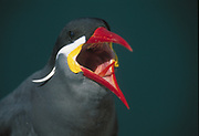 Inca Tern<br />