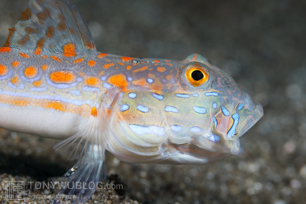 Orange-dashed goby (Valenciennea puellaris) with its mouth open after spitting out a mouthful of sand as it was foraging for food.
