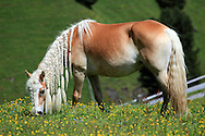 A braided mane mare in pasture grazing in the Dolomites, Italy.