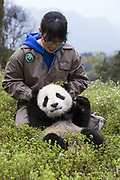 Giant Panda<br /> Ailuropoda melanoleuca<br /> Keeper with 6-8 month-old cub<br /> Bifengxia Base of China Conservation and Research Center of Giant Panda, Ya'an, China<br /> *captive