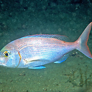 Red Porgy hover and swim around reefs, rocky outcroppings and adjacent sand areas in Florida and continental coast from New York to Argentina; picture taken Panama City, Panhandle, FL