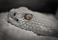 A rattlesnake basks in the Arizona sun