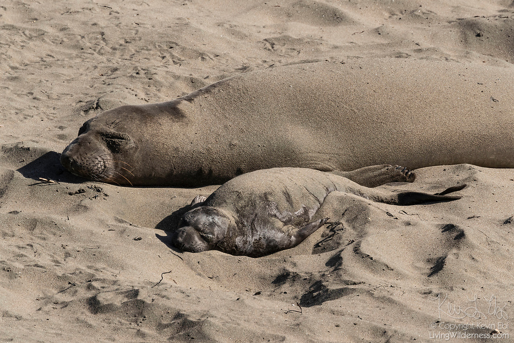 An elephant seal (Mirounga angustirostris) pup rests next to its mother on the beach at the Piedras Blancas Elephant Seal Rookery near San Simeon, California. Elephant seals typically spend 9 months at sea, coming to shore only to give birth, mate and molt. Elephant seals are named for the long snouts, called proboscis, that male seals develop. The Piedras Blancas Elephant Seal Rookery is part of the Piedras Blancas State Marine Reserve and Marine Conservation Area, managed by California.