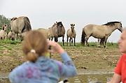 Nederland, Kekerdom, 3-6-2017Beversafari met kano in de Millingerwaard. Onderweg is een kudde wilde paarden, konikpaarden te zien. Staatsbosbeheer maakt tochten per kano zodat belangstellenden de natuur in de Millengerwaard echt kunnen beleven. Doel is om bevers te spottenOm het water dat via Lobith binnenkomt goed te verdelen over het Pannerdensch Kanaal en de Waal én om de waterstand te laten dalen in tijden van hoog water, is de Millingerwaard verruimd voor een betere waterveiligheid. Er is een geulenpatroon gegraven bestaande uit kwelgeulen en een grote stroombaangeul. Ruimte voor de rivier de Waal.Foto: Flip Franssen
