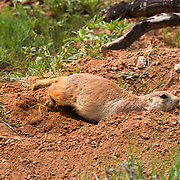 Blacktail Prairie Dogs (Cynomys ludovicianus) and pups at Devil's Tower National Monument. Wyoming. <br /> Photography by Jose More