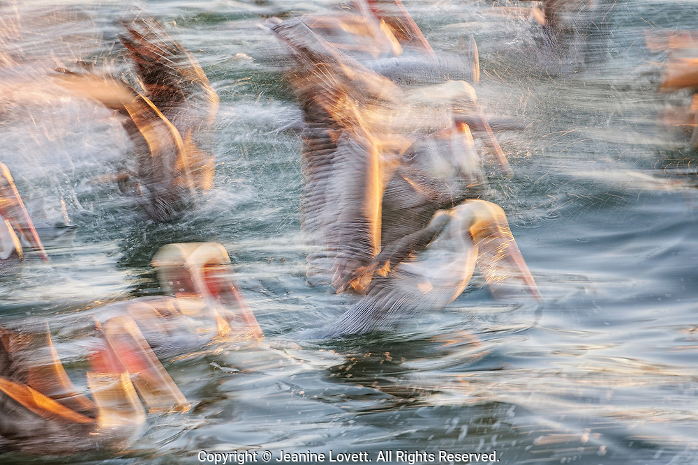 Brown pelicans reacting in pandemonium over an abundance of anchovies in the California Monterey Bay