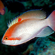Stocky Anthias inhabit reefs. Pictue taken Ambon, Indonesia.