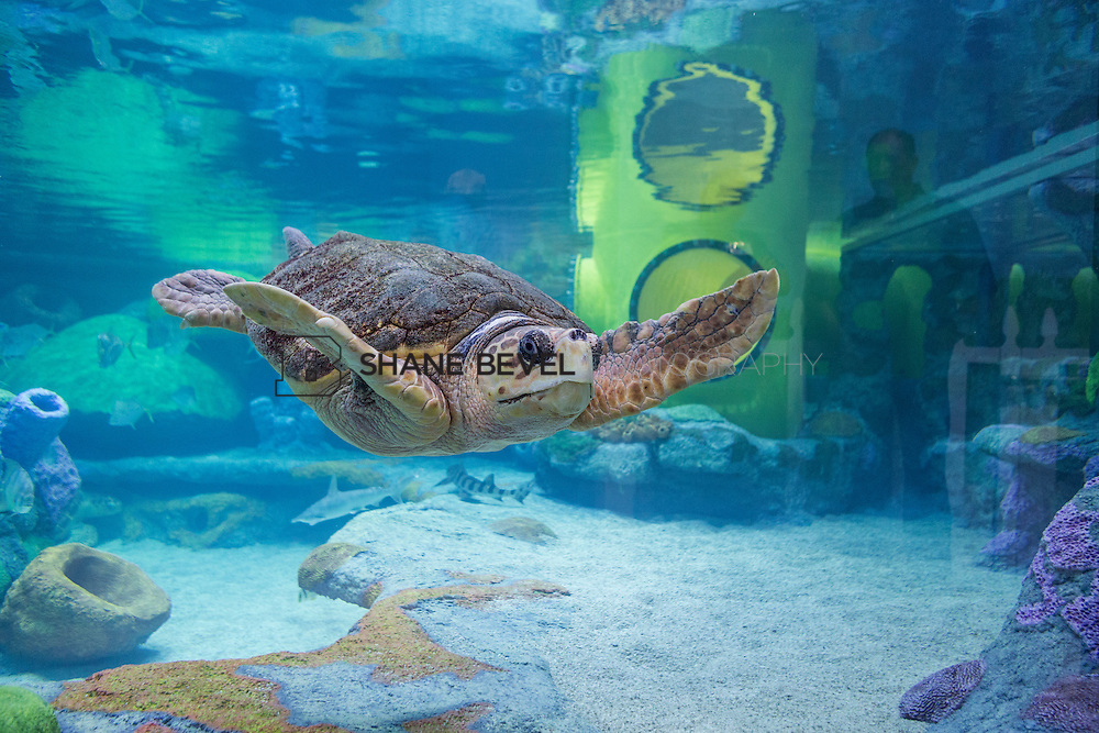 3/2/17 11:00:59 AM -- The ribbon cutting and grand opening of the new sea turtle exhibit at the Oklahoma Aquarium in Jenk, Okla. <br /> <br /> Photo by Shane Bevel