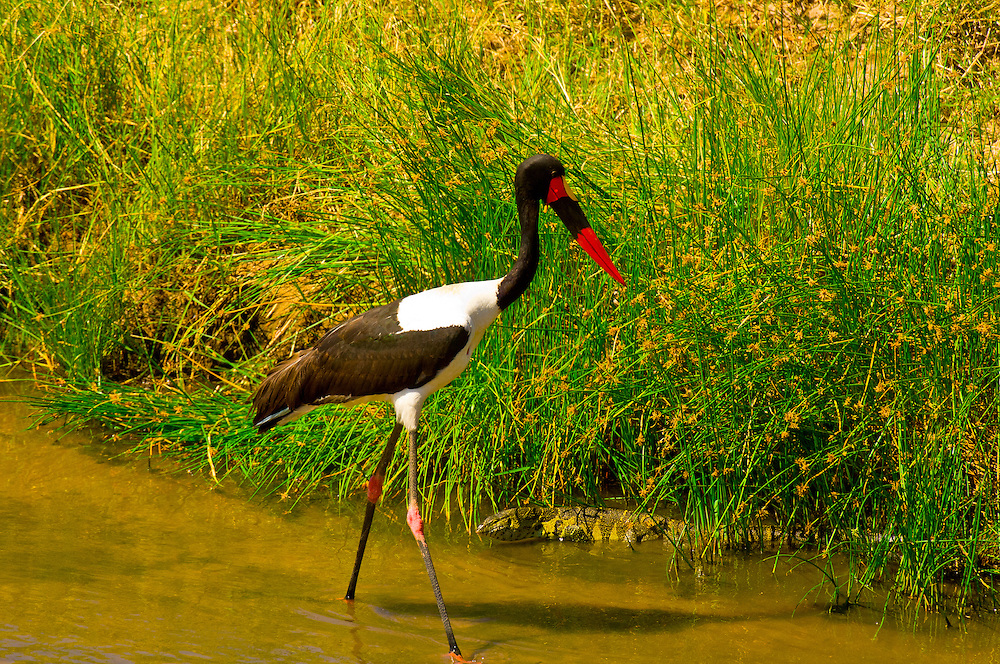 Saddle-billed stork and a Monitor lizard, Tarangire River, Tarangire National Park, Tanzania