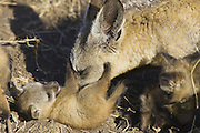 Bat-eared fox<br /> Otocyon megalotis<br /> Grooming 4 week old pup(s)<br /> Masai Mara Reserve, Kenya