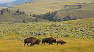 An impressive bull bison trails a lone cow and her calf during the August rut. The largest of the bulls breed during the start of the rut and then return to their bachelor herds for the remainder of the mating season.