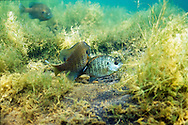 Bluegills spawning<br />