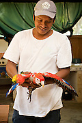 Mayan technician in the lab working with scarlet macaws in Guatemala