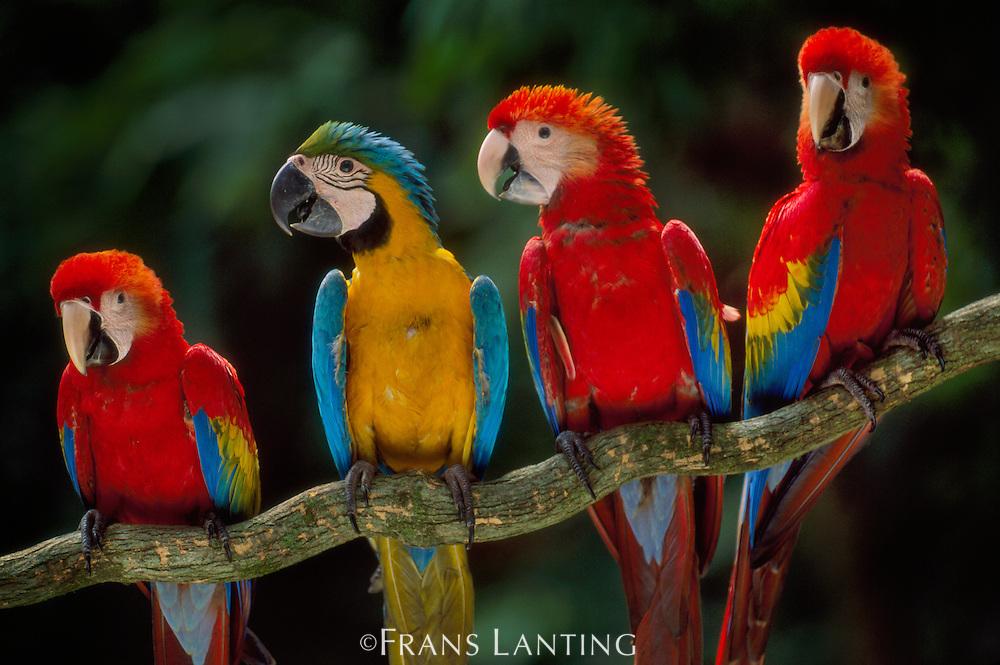 Scarlet macaws, Ara chloroptera, perched with a blue-and-yellow macaw, Ara ararauna, Tambopata National Reserve, Peru