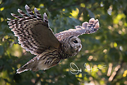 A Barred owl takes flight over Skyline Drive, part of Shenandoah National Park, Virginia.