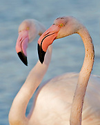 Greater Flamingoes, Phoenicopterus roseus, from Camargue, France.