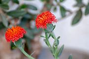 flowering Kleinia fulgens Scarlet Kleinia, Coral Senecio (AKA Senecio fulgens) is a species from the genus Kleinia and the family Asteraceae