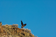 Golden Eagles (Aquila chrysaetos) Rock Lakes National Wildlife Refuge, Montana