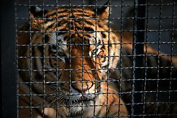 ROMANIA ONESTI 26OCT12 - A Siberian Tiger  in captivity at the Onesti zoo.  ..The zoo has been shut down due to non-adherence with EU regulations on the welfare of animals.......jre/Photo by Jiri Rezac / WSPA......© Jiri Rezac 2012