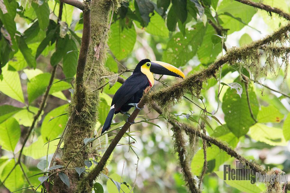 Choco toucan perching in the rainforest near Milpe, Ecuador