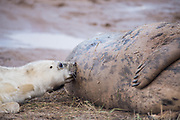 Donna Nook, Lincolnshire, UK – Nov 15: Nursing newborn baby grey seal pup nuzzles against mother's teets and drinks her milk, lying on the mudflats on 15 Nov 2016 at Donna Nook Seal Santuary, Lincolnshire Wildlife Trust