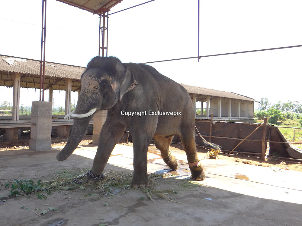 Exclusive<br /> <br /> Sir Paul McCartney Still chained and beaten despite the fact that the Bombay high court weeks ago ordered the animal's release to a sanctuary.<br /> <br /> <br /> A beaten and chained Indian elephant that Sir Paul McCartney campaigned to rescue is being treated as cruelly as ever in captivity and is now suffering a severe, raw, gaping leg wound, despite the fact that the Bombay high court weeks ago ordered the animal's release to a sanctuary.<br /> The animal rights group People for the Ethical Treatment of Animals (PETA) has revealed that the 14-year-old elephant, called Sunder, had a &quot;massive wound &hellip; as a result of constant tying with heavy chains&quot; when a vet last week visited the animal at the old poultry shed where he is being kept in Kolhapur, India. The vet's report stated that Sunder should be rescued &ldquo;on an emergency basis&rdquo;.<br /> A campaign backed by former Beatle Sir Paul was launched by PETA two years ago to free Sunder from the Hindu temple where he was being kept at that time, after it emerged that the elephant was being beaten by his handler. The elephant had a number of scars, as well as a nasty eye injury and a hole in his ear. Sir Paul wrote a letter to India's forest minister in July 2012. He wrote: &ldquo;I have seen photographs of young Sunder &hellip; put in chains with spikes. Years of his life have been ruined by keeping him and abusing him in this way and enough is enough.&rdquo;<br /> Pamela Anderson also supported the campaign.<br /> Sunder spent six years chained at the Jyotiba Temple in Kolhapur, a city south of Mumbai in India, after he was donated by a local politician. Soon after the campaign's launch, the elephant was moved to the poultry shed in Kolhapur, in the state of Maharashtra, against the orders of authorities that he should be sent to a sanctuary to roam free. A hearing in the Bombay high court last month concluded that the Maharashtra forest department - the only government body with the authority to move Sunder - should send the animal to a sanctuary in Bangalo