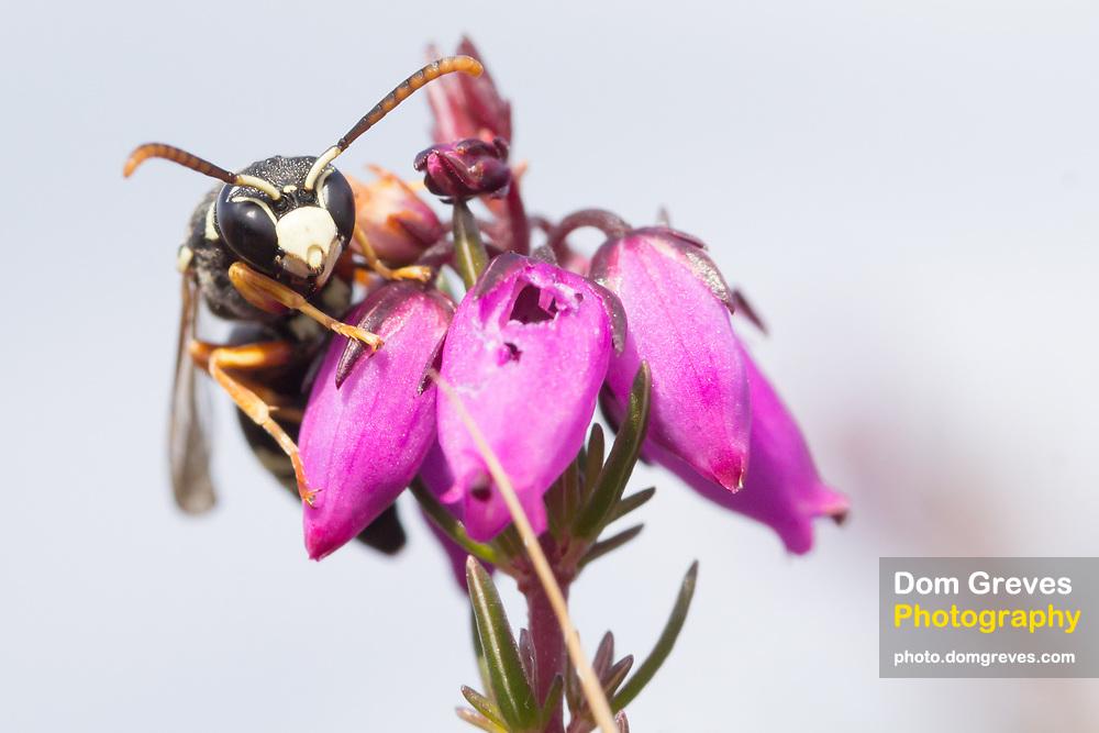 Purbeck mason wasp (Pseudepipona herrichii) on bell heather. Godlingston Heath, Isle of Purbeck, UK.