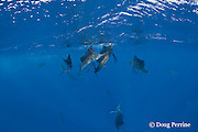 Atlantic sailfish, Istiophorus albicans, feeding on sardines that they have broken away from small school (faintly visible in background), Yucatan Peninsula, Mexico ( Caribbean Sea )