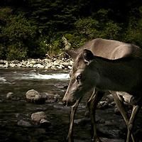 Deer, Tararua Ranges