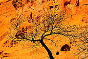 A Narrowleaf Cottonwood (Populus angustifolia) mostly devoid of leaves in winter is silhouetted by the canyon wall glow on the Burr trail in Escalante National Monumenet, Utah.