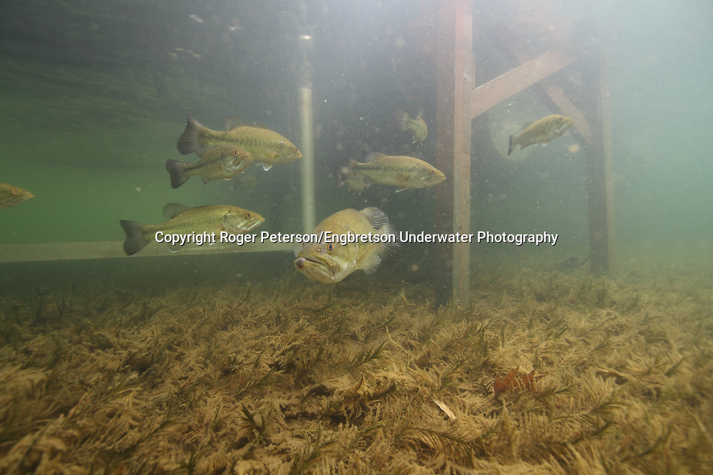 Group of Largemouth Bass Under Boat Dock<br />