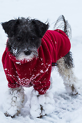 Little Tizzy's feet have a build-up of snow after enjoying a wintery early morning romp as people and their pets enjoy the three inches of snow on Hampstead Heath in North London. Hampstead, London, February 01 2019.