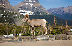 Glacier National Park, Montana:  A big horn sheep steps up onto a parking lot ledge at Logan Pass, the apex of the famous Going-to-the-Sun road that crosses the mid-section of Glacier National Park.