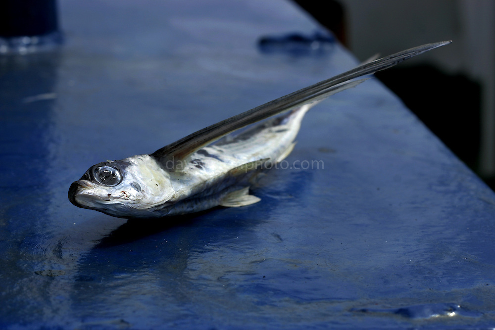 Dead atlantic flying fish, South Atlantic, Cheilopogon melanurus having flown onto the deck of a ship. Flying fish leave the water to escape predators - unfortunately this means they sometimes land on on ships and die.