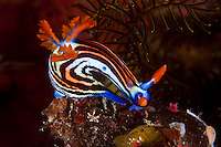 These beautiful nudibranchs are common in the southern part of the Komodo National Park.  Like all nudibranchs, they advertise their toxic nature with bright warning colors and markings.  Obvious are the branched gills and the rhinophores, used by the nudibranch to search for prey. The Komodo National Park is home to the unique Komodo Dragon, but also has some remarkable marine life.  Cold upwellings from the Indian Ocean to the south bring plenty of nutrients, providing food for a spectacular array of different species.