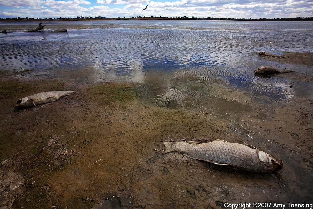 MILDURA, VIC, AUSTRALIA - OCTOBER 12: Dead carp lie on the shore of Lake Hawthorn October 12, 2007 in Mildura, Victoria, Australia. This lake was created by river regulation, as a drainage lake for irrigation, but became a permanent habitat for a variety of fish including the Hardyhead, which is almost extinct because of the drought. When scientist saw the larger fish, including carp, dying in high numbers because of lack of oxygen from the lake drying up, they began a race to collect some of the smaller native species who have been loosing their overall population in the river system. The Murray-Darling Basin of Australia has been plagued with severe drought since the late 1990's and many growers and policy makers are being forced to work on implementing more efficient irrigation systems. (Photo by Amy Toensing/Reportage by Getty Images) _________________________________<br />