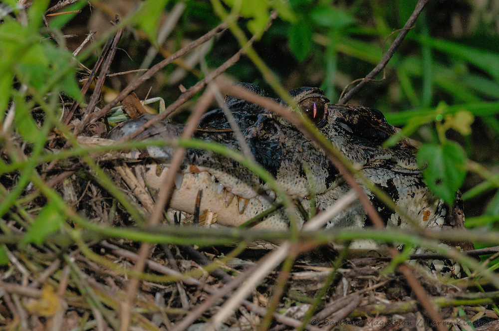 Black Caiman [Caiman niger] guarding nest; Laguna Anangucocha, Napo Wildlife Center, Yasuni National Park, Ecuador