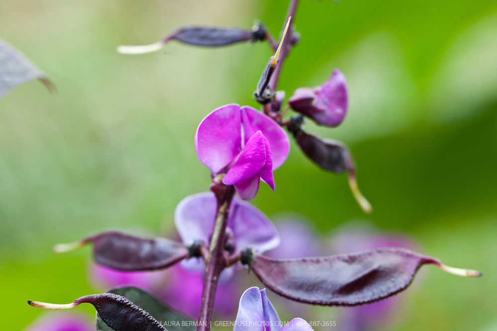 The distinctive purple flowers, dark purple pods and green and purple leaves of Lablab purpureus, commonly known as the hyacinth bean, Indian bean, seim (Guyana and Trinidad and Tobago), Egyptian bean, njahi (in the Kikuyu language of Kenya), bulay (Tagalog), bataw (Bisaya), or ??u ván (Vietnamese) .  (syn. Dolichos lablab, Dolichos purpureus,  Lablab niger Medikus, Lablab lablab Lyons, Vigna aristata Piper, and Lablab vulgaris ),