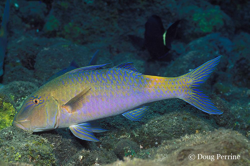 goldspotted, blue, or yellowsaddle goatfish, Parupeneus cyclostomus, feeding on bottom, Bali, Indonesia