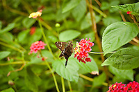 Long-tailed skipper feeding on lantana flowers  in Mariana, Fl.
