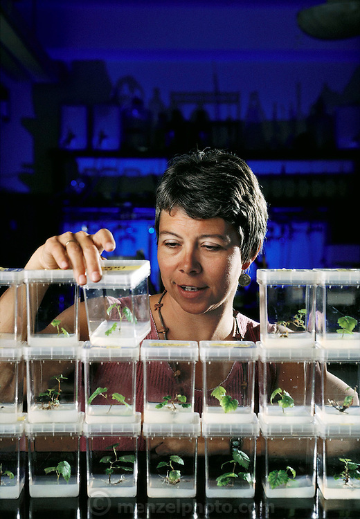 Carole Meredith with Cabernet Sauvignon wine grape seedlings, grown from tissue culture, UC Davis, California. Viticulture/Oenology. MODEL RELEASED. USA.