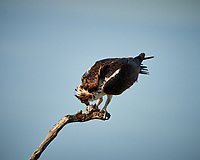 Osprey with a fish for dinner. Biolab Road in Merritt Island National Wildlife Refuge. Image taken with a Nikon D800 camera and 500 mm f/4 VR lens (ISO 100, 500 mm, f/8, 1/250 sec).