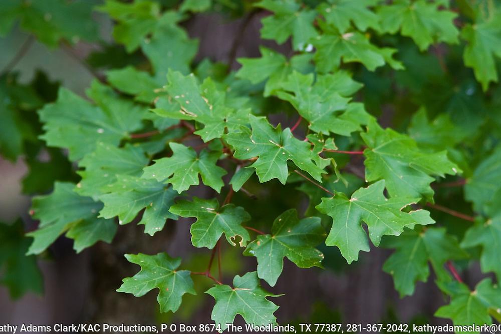 Bigtooth Maple, Acer grandidentatum, summer leaves, Big Bend National Park, Texas.  Chihuahuan Desert.