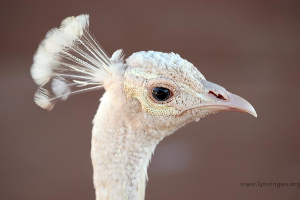 The White Peacock is frequently mistaken for an albino, but it is a colour variety of Indian Blue Peacock.<br /> <br /> --------<br /> <br /> Hvit p&aring;fugl blir ofte forvekslet med en albino, men det er en farge variant av Indiske Bl&aring; P&aring;fugl