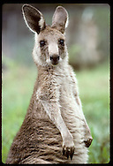 Smallest and furriest of the kangaroos, this wallaroo, or euro, peers @ camera in zoo; Wagga,NSW Australia