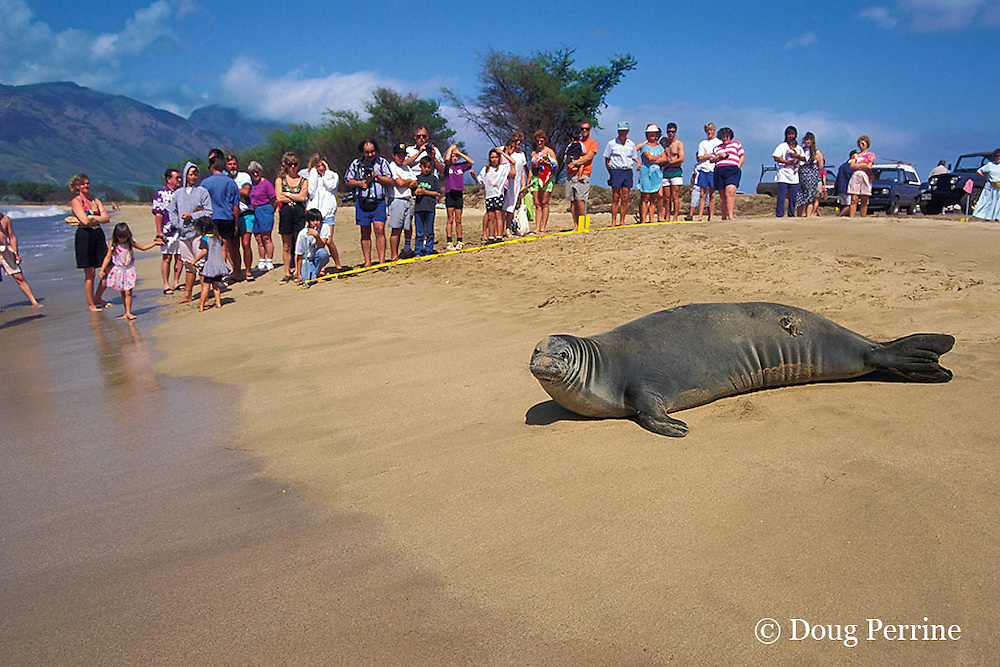Critically Endangered Hawaiian monk seal, Monachus schauinslandi, resting on beach as spectators look on, Kihei, Maui, Hawaii ( Central Pacific Ocean )
