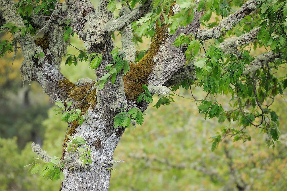 Pyrenean oak (Quercus pyrenaica)   in Campanarios de Azába nature reserve, Salamanca Region, Castilla y León, Spain