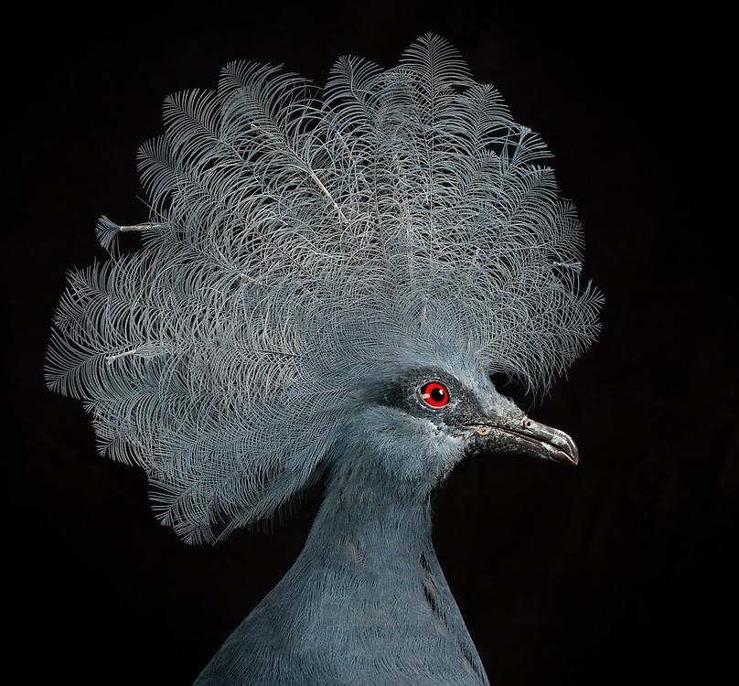 Blue Crowned Pigeon, (Goura cristata); captive, credit: Pandemonium Aviaries/M.D.Kern