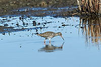 Redshank (Tringa totanus) searching for food, Elmley Marshes RSPB Reserve, England, : Photo by Peter Llewellyn