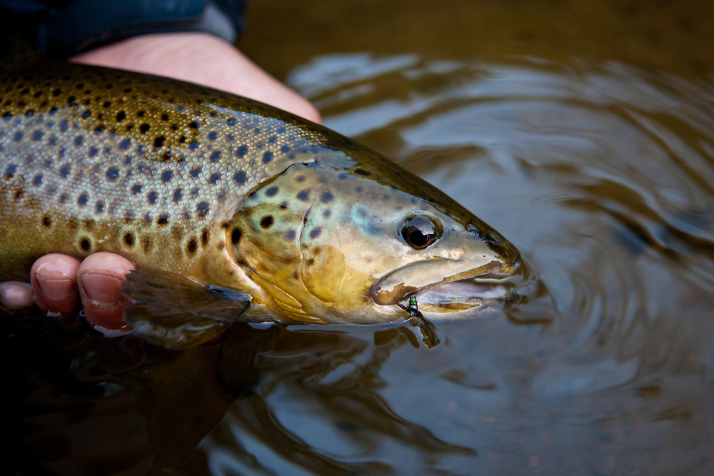 close up of a large fly caught brown trout, West Branch Ausable River, Adirondack Park, New York